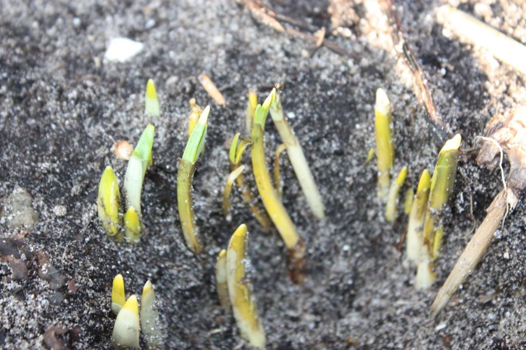 Flere planter var også på tur opp av jorda. Jeg er ikke helt sikker på hva dette er?